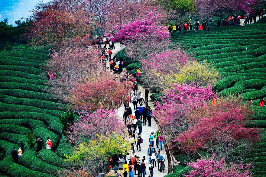 A cseresznyevirágzás elérte tetőfokát Kínában. Íme a világ leggyönyörűbb tavasza!