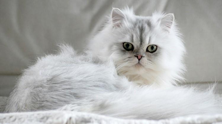 A világ 5 legszebb macskafajtája