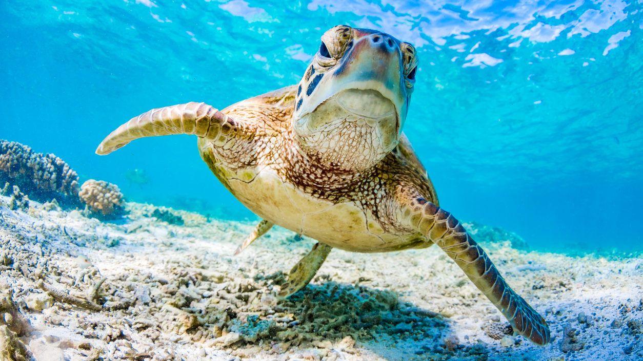 Hetekig műanyagot fosott a teknős