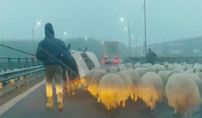 Autópályán terelte nyáját egy román pásztor
